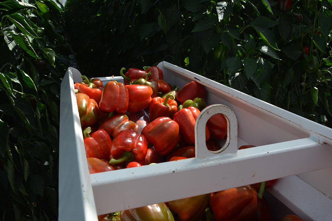 Exportwaarde groente in april 1% lager dan vorig jaar. - Foto: Peter Visser.