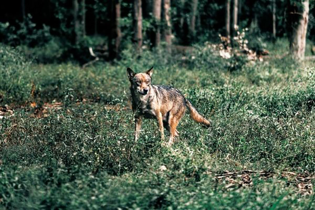 Archieffoto van een wolf. Boeren worden opgeroepen om schade door wolven te blijven melden. - Foto: Canva