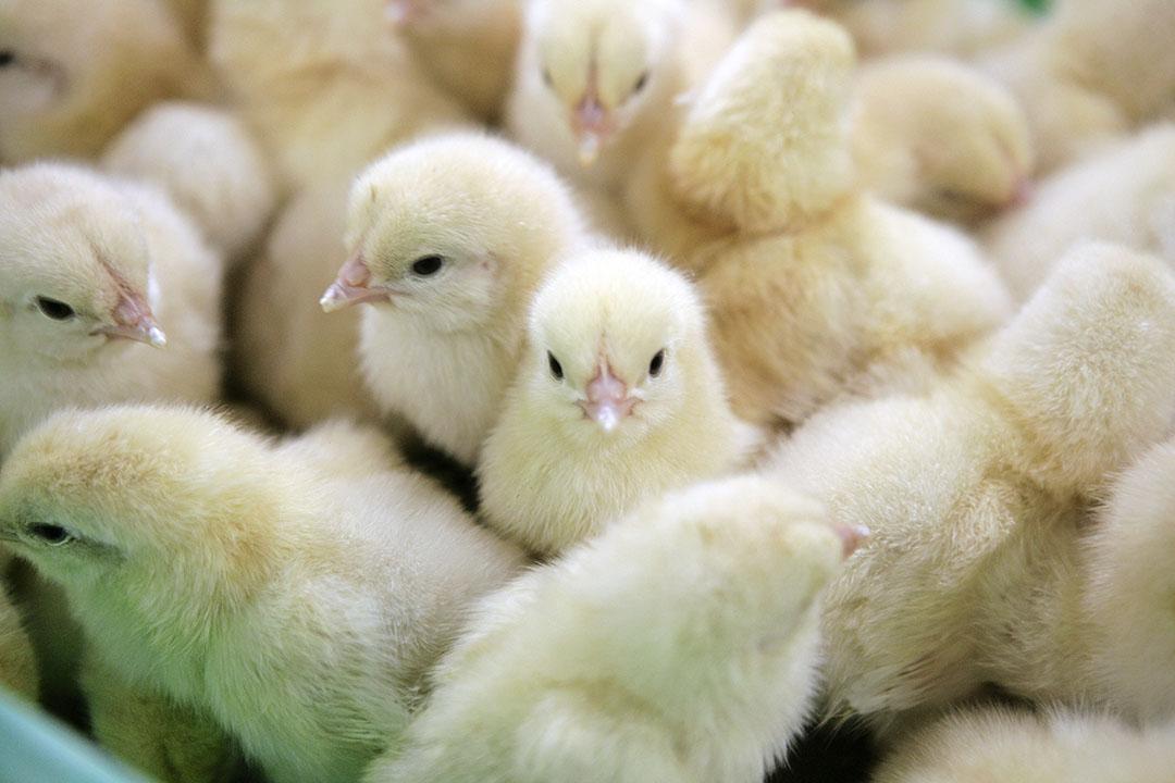 Geslachtsbepaling van het kippenembryo als alternatief voor het doden van haankuikens van legrassen kort na uitkomst. - Foto: Jan Willem Schouten