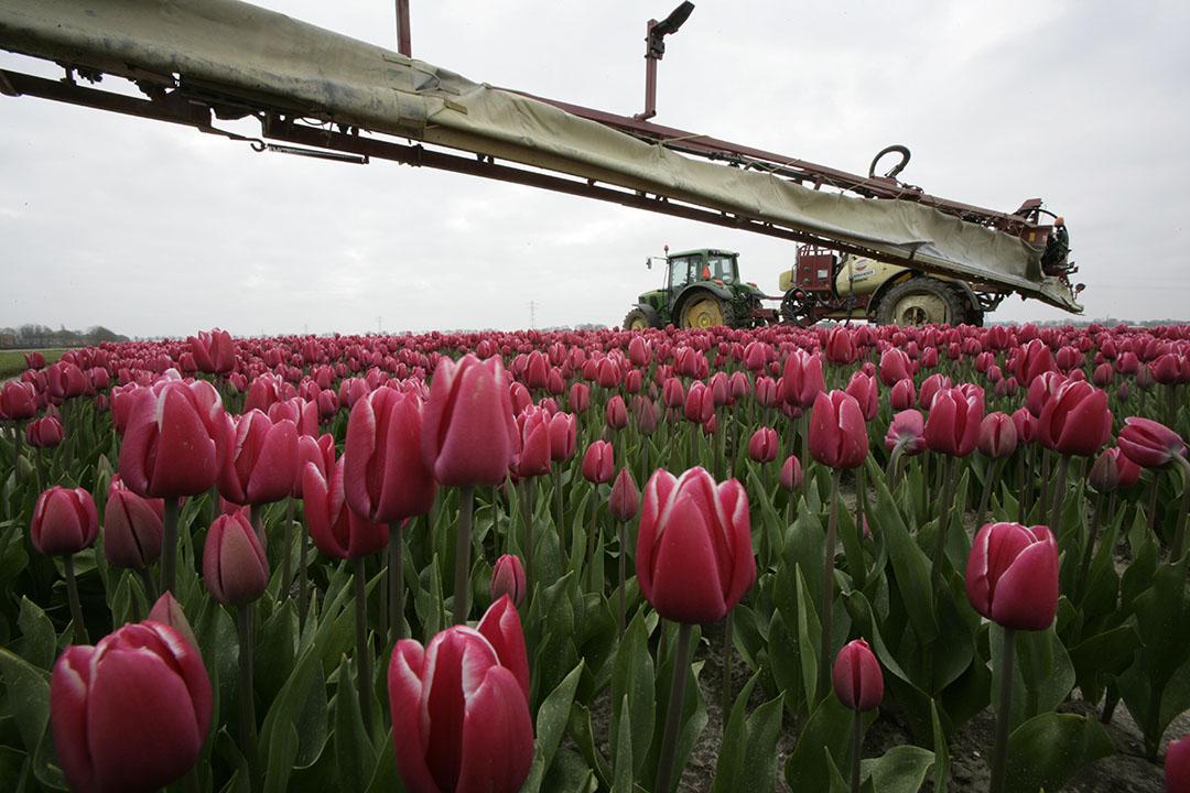 Toepassen gewasbeschermingsmiddel bij tulpen. De natuurgebieden in Drenthe waar residuen zijn gevonden, liggen vlak bij percelen waar bollen worden geteeld. - Foto: Koos Groenewold