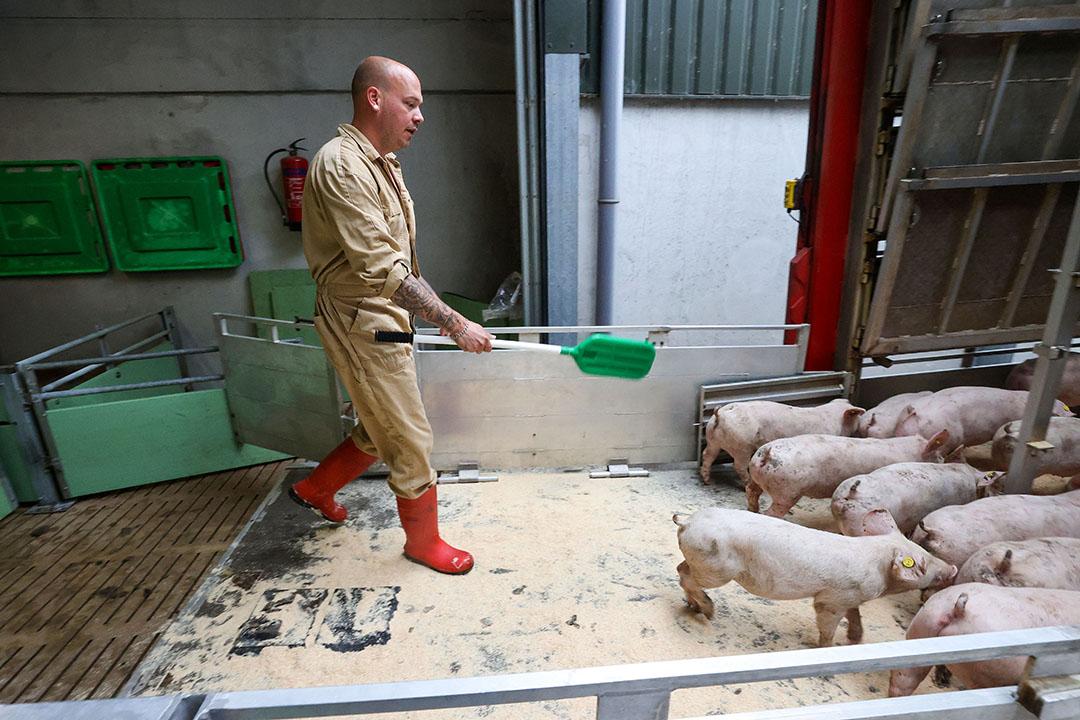 Het laden van biggen voor export. - Foto: Bert Jansen