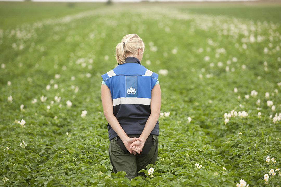 Een NAK-keurmeester keurt een veld met pootaardappelen. - Foto: Mark Pasveer