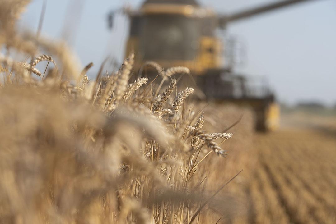 De eerder verwachte redelijk vroege oogst komt door de neerslag en het koele weer toch op een normale oogsttijd uit. - Foto: Mark Pasveer