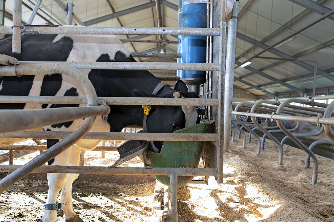 Koe in krachtvoerbox. Food & Agribusiness organiseert 4 juni het webinar: 'Gezond koeien voeren met minder eiwit: hoe doe je dat?' Foto: Hans Prinsen