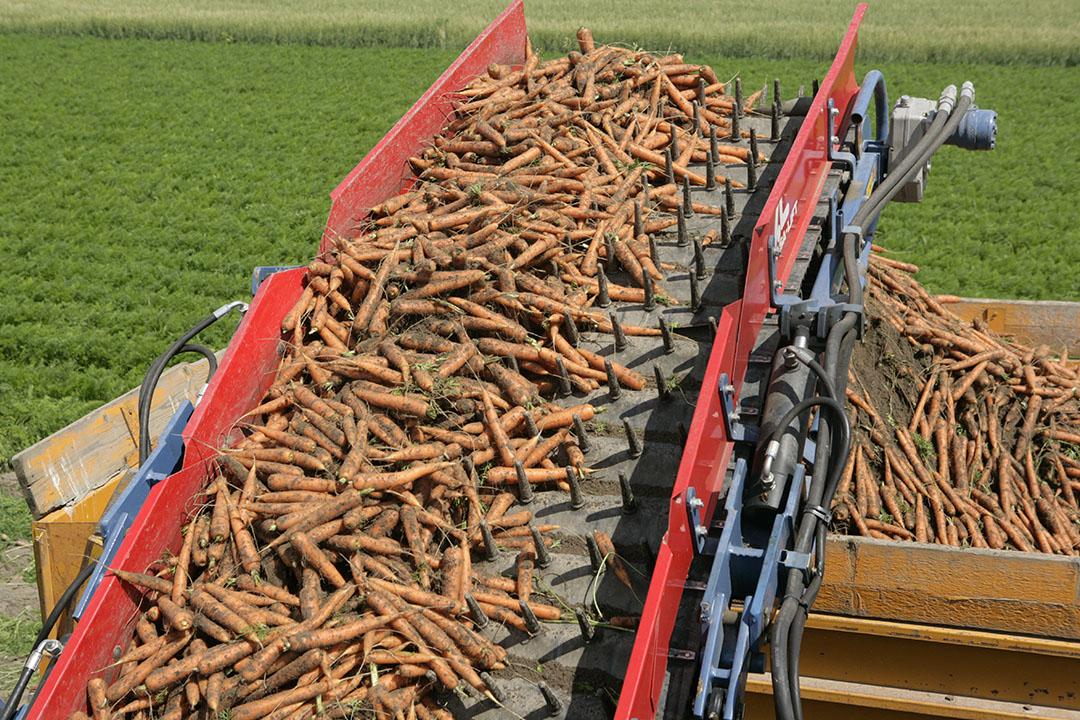 Oogst van vroege biopeen. Deze is dit seizoen schaars, net als de grove sortering uit reguliere teelt. - Foto: Henk Riswick