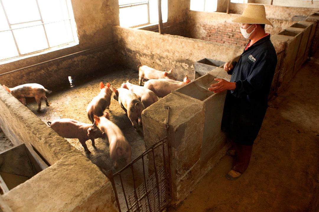 Een Chinees varkensbedrijf. - Foto: Henk Riswick