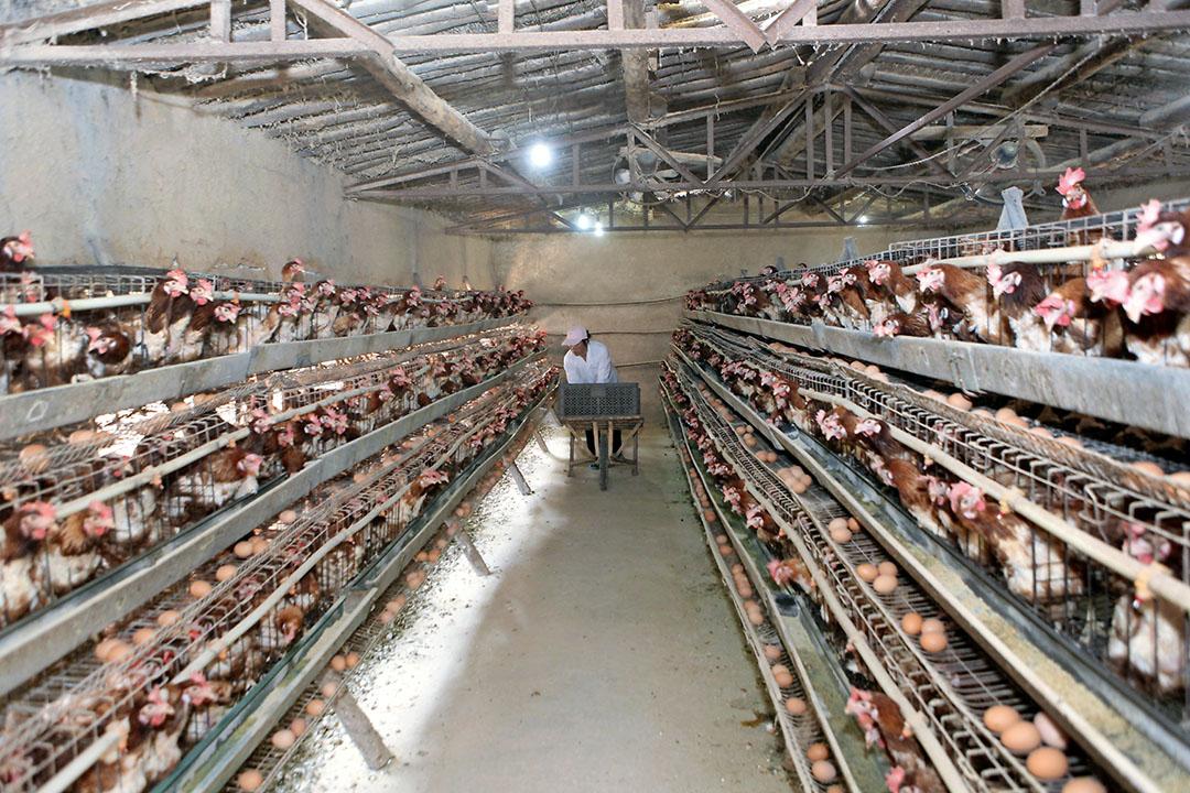 Onder aanvoering van China steeg de wereldproductie van eieren het afgelopen decennium met bijna een kwart. - Foto: Henk Riswick