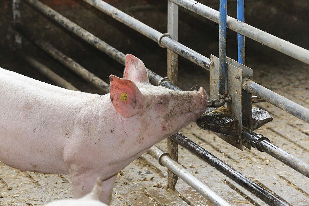 Welzijnsvriendelijke stal voor vleesvarkens. Leidraad is het staatswelzijnskeurmerk waarvan de eisen ook eerder dit jaar werden vastgelegd, zij het in eerste instantie alleen nog voor de varkenshouderij. Foto: Henk Riswick
