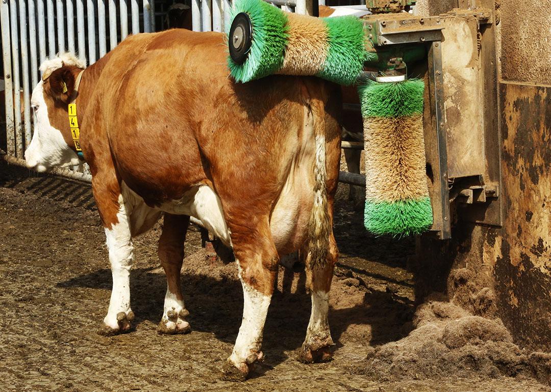 Ten opzichte van november vorig jaar telden de statistici krap 4 miljoen melkkoeien: 1,1% minder. Foto: Henk Riswick