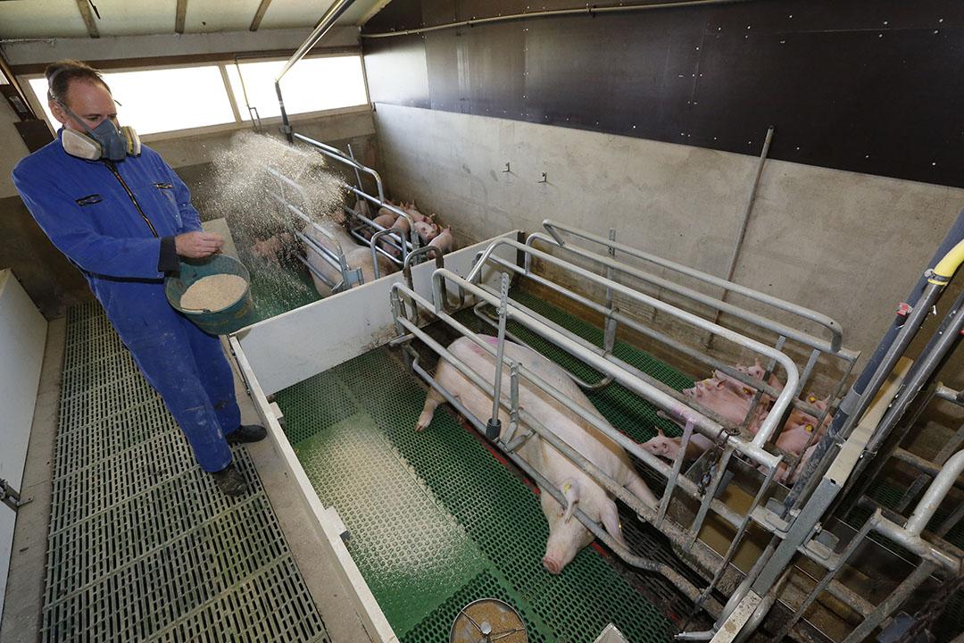 Inspectie SZW van het ministerie van Sociale Zaken en Werkgelegenheid  wil onderzoek naar blootstelling aan stof in de varkenshouderij. - Foto: Henk Riswick