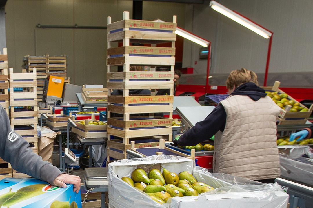 Inpakken van peren voor export naar China. - Foto: Peter Roek