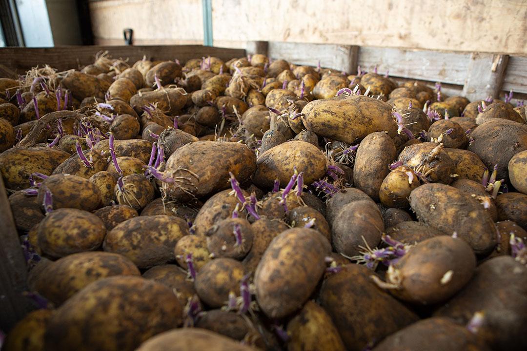 Aardappelen in bewaring.- Foto: Peter Roek