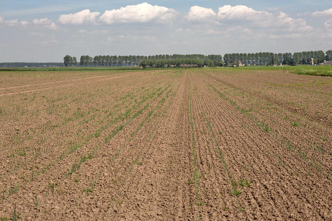 Slechte opkomst van de uien bij Denis Steijaert in Nieuw-Namen, Zeeuws-Vlaanderen, stand eind mei.