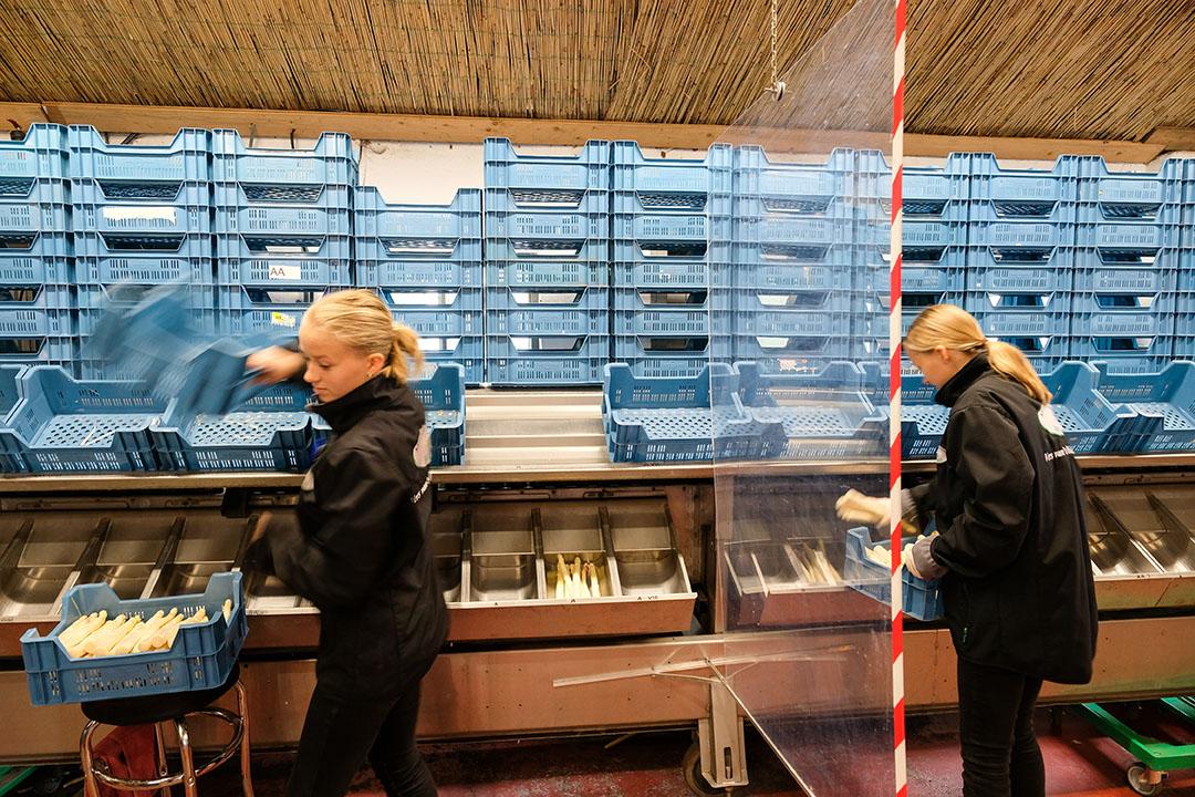 Medewerkers van aspergebedijven werken tussen schotten vanwege het coronavirus. - Foto: Jan Willem van Vliet