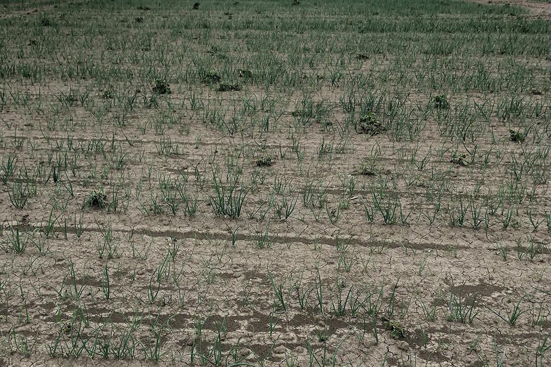 Hysky-uien in Rilland, Zeeland. - Foto's: De Groot en Slot