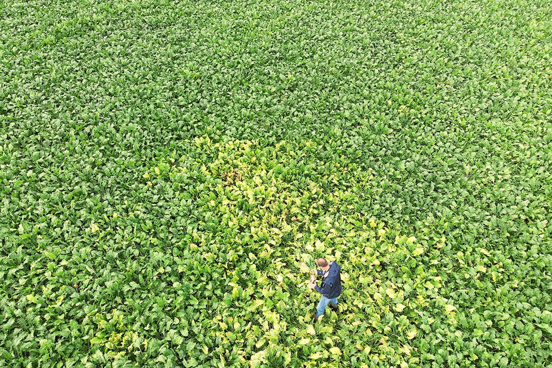 Bladluizen brengen het vergelingsvirus over op bietenplanten, waardoor gele plekken in het perceel ontstaan. - Foto: Mark Pasveer