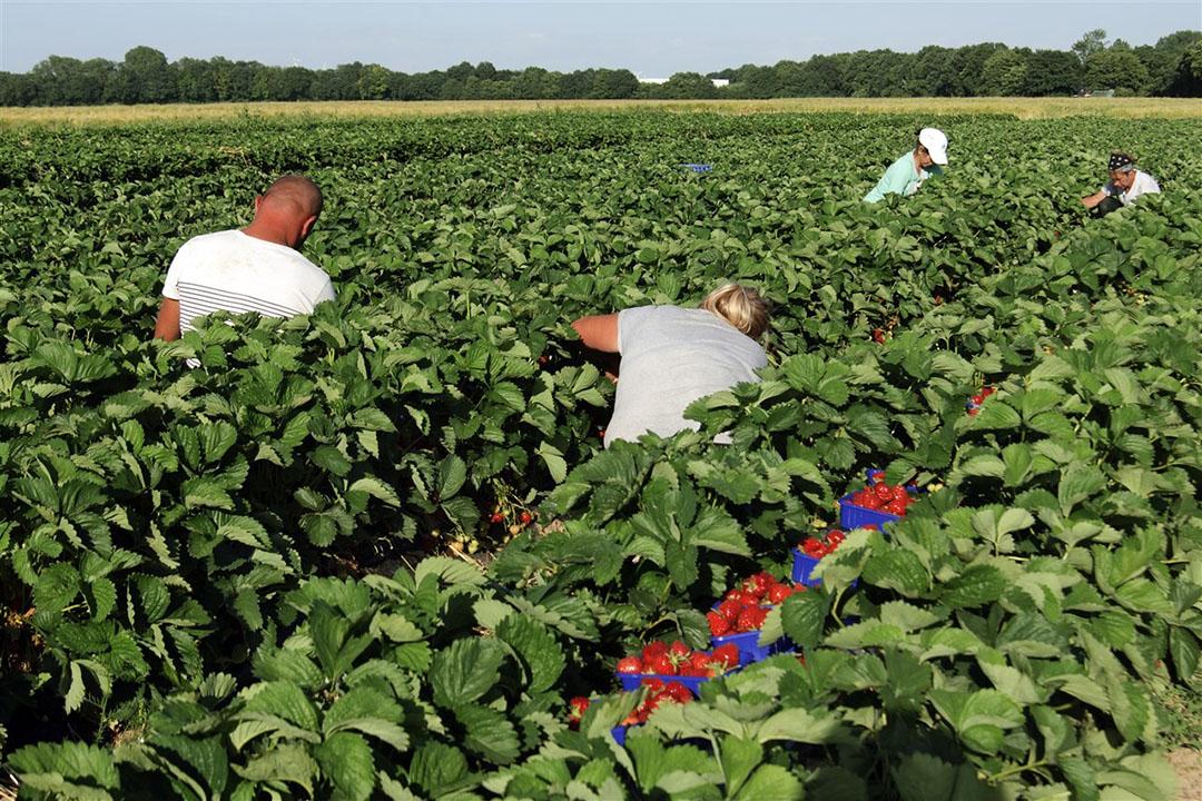 Poolse seizoensarbeiders oogsten aardbeien (archieffoto). Bij het inhuren van een zzp'er kan de Belastingdienst achteraf stellen dat er bij de overeenkomst geen sprake was van een zelfstandig ondernemer (zzp'er), maar van een werknemer. - Foto: ANP