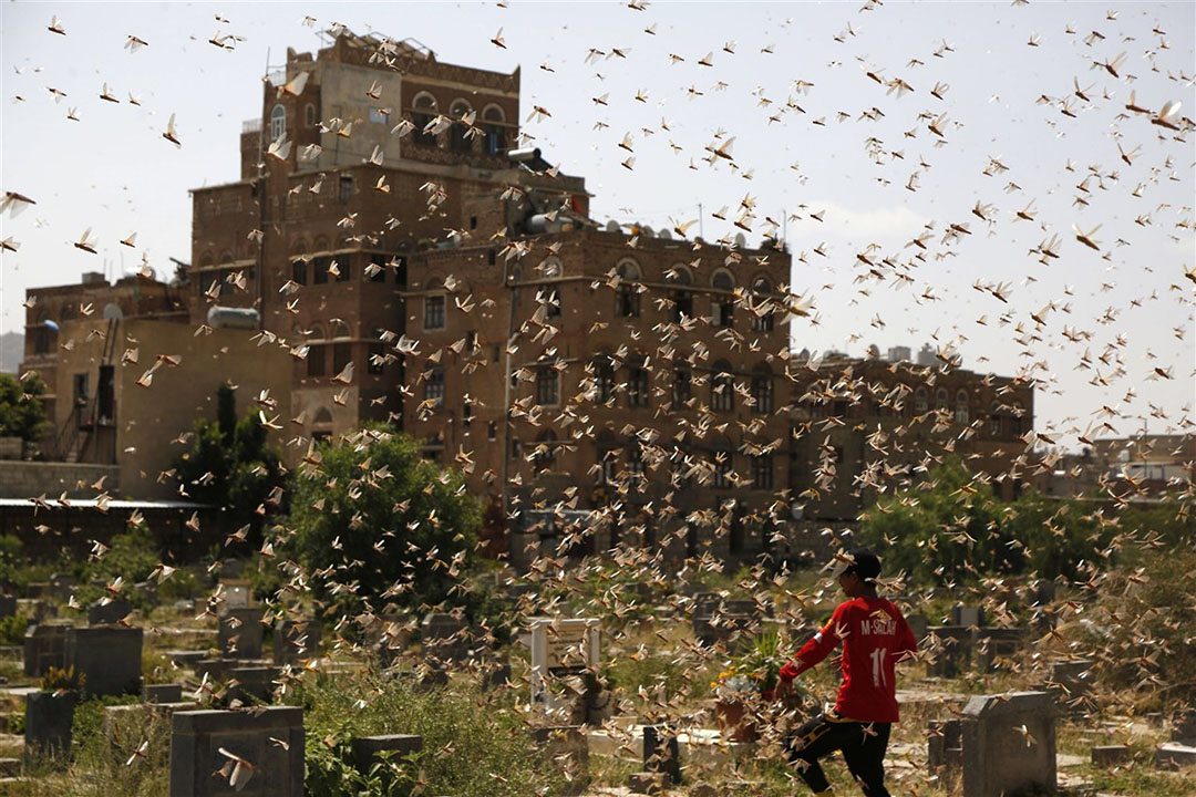 Dit jaar zijn er ongewoon hevige sprinkhanenplagen, zoals op de foto in Jemen. Foto: ANP