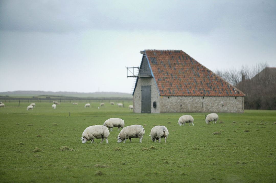 Schapen in het Texelse landschap. Foto: Jan Willem Schouten