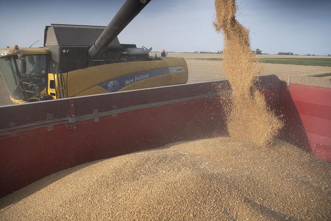 Oogsten van tarwe. Handelaren houden de voortgang van de oogst en de kwaliteit scherp in de gaten. - Foto: Mark Pasveer