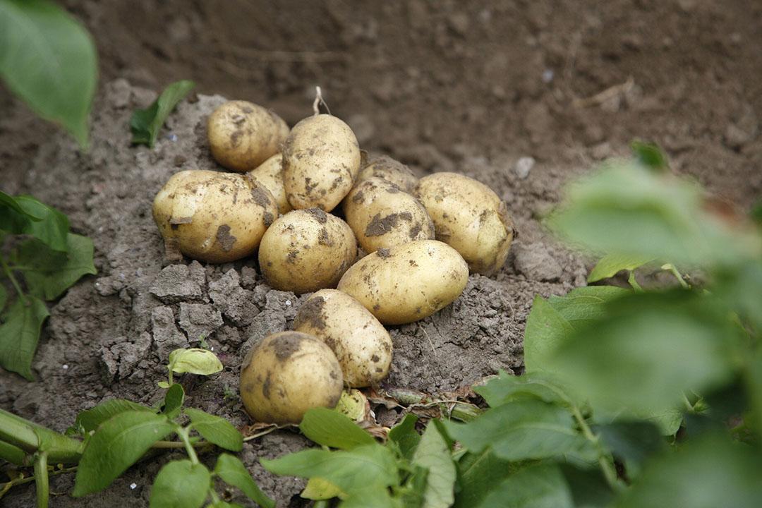 Aardappelen van het ras Fontane. - Foto: Hans Prinsen