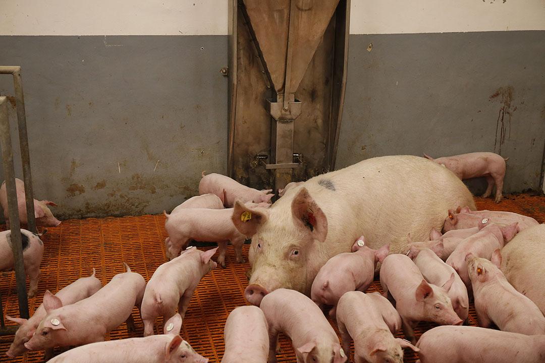 In deze stal zitten de biggen niet bij hun moeder in een hok, maar rennen door de hele afdeling heen. - Foto: Hans Prinsen