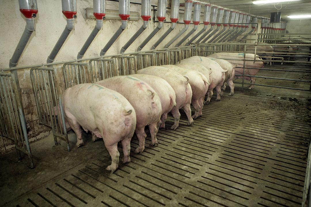 Pools varkensbedrijf. Dit jaar is er op twaalf varkenshouderijen in Polen Afrikaane varkenspest vastgesteld.- Foto: Henk Riswick.