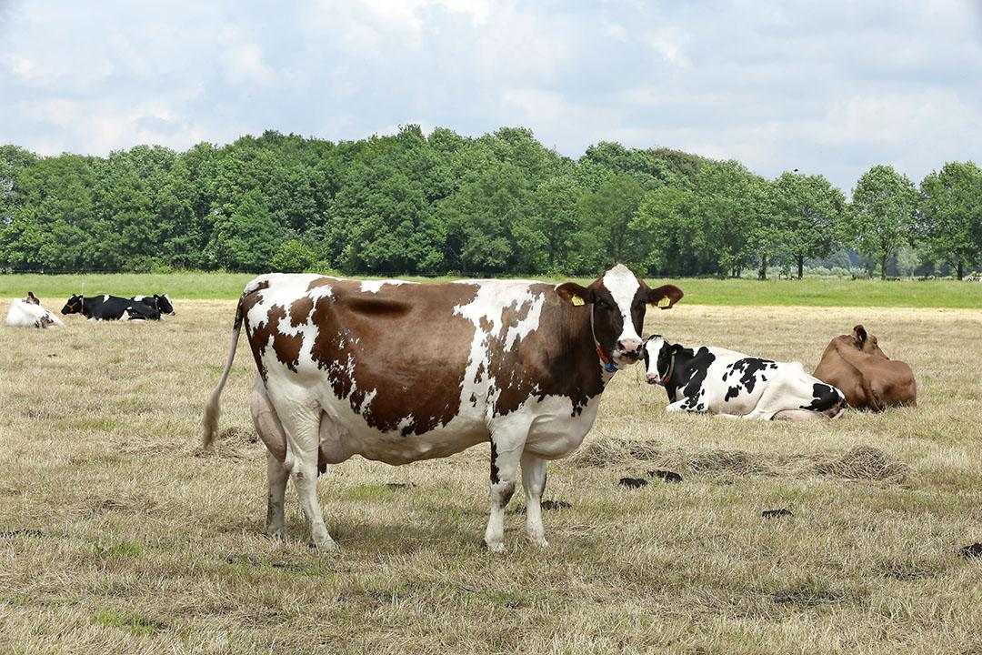 De regeling zou alleen mogelijk zijn als die geen duidelijk negatieve gevolgen heeft, bijvoorbeeld voor droogstaande koeien. - Foto: Henk Riswick