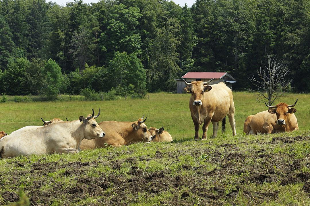 Biologische vleesveebedrijf in Duitsland. Foto: Henk Riswick