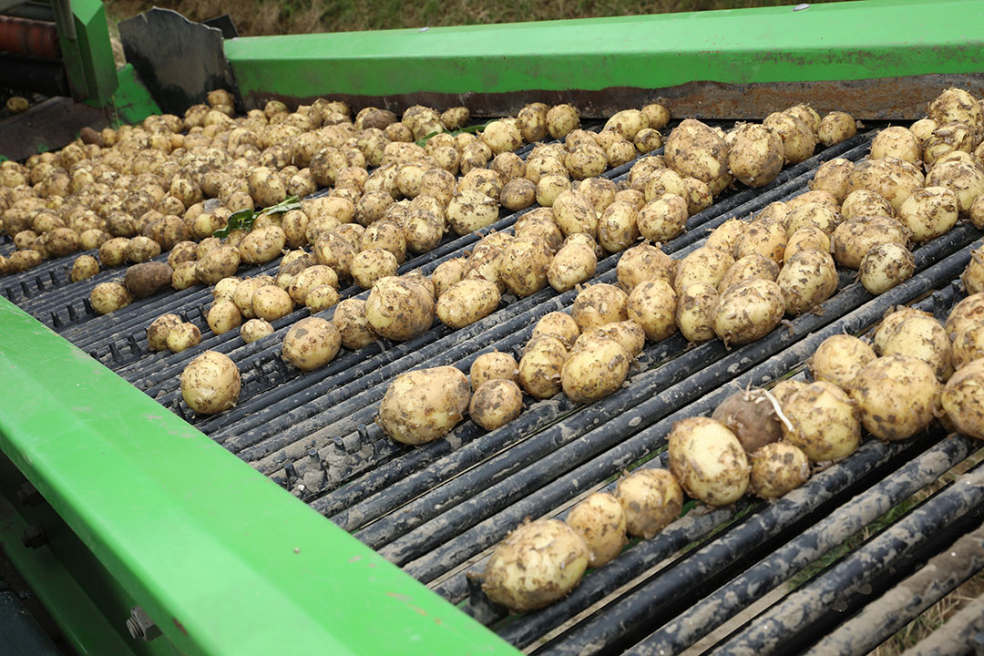 De oogst van vroege aardappelen in Flevoland eind juli dit jaar. - Foto: Henk Riswick