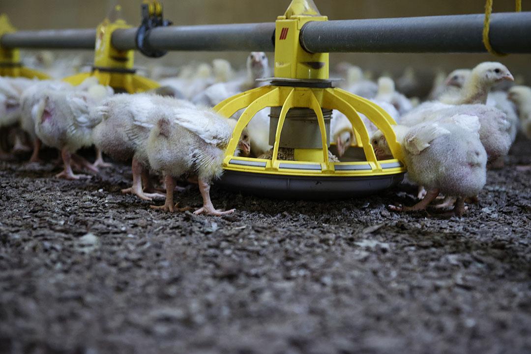 Het aanbod aan pluimveevlees is op veel plekken gedaald doordat minder kuikens zijn opgezet. Foto: Lex Salverda