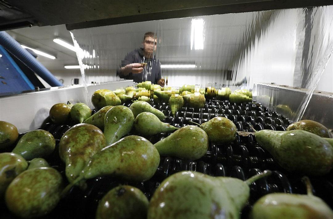 De totale EU-productie 2020 van peren wordt geschat op 2.199.000 ton, dit is 12% meer dan vorig jaar. - Foto: ANP