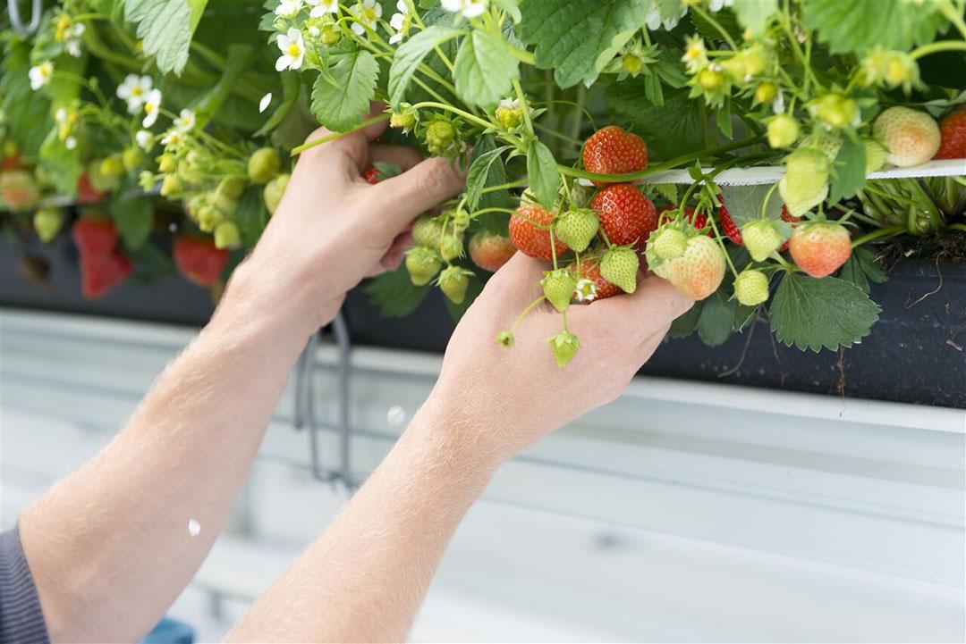 Foto ter illustratie. Seizoensarbeider plukt aardbeien in een kas. - Foto: ANP