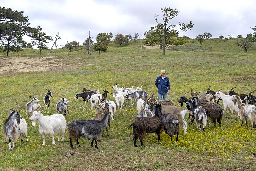 Landgeiten grazen vooral in natuurgebieden. Ze zijn gek op houterige gewassen en onkruiden als distels, wilg en berk.