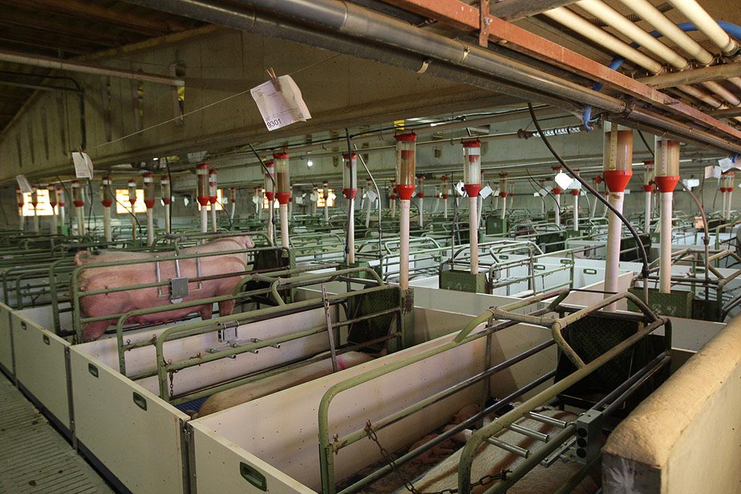 Zeugen op een varkensbedrijf in de Spaanse regio Llerida.