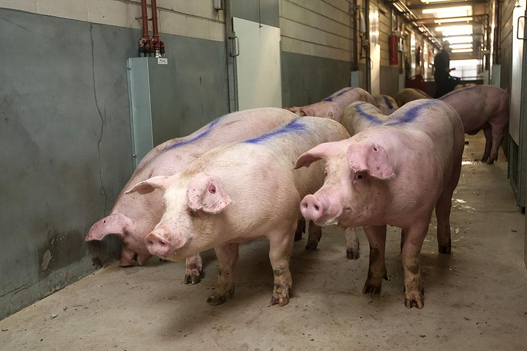 afleveren van varkens