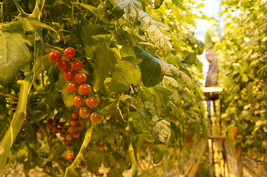 Cherrytomaten in een kas. Plus wil dat alle leveranciers van tomaten duurzaam produceren, met onder meer aardwarmte. - Foto: Gerard Boonekamp