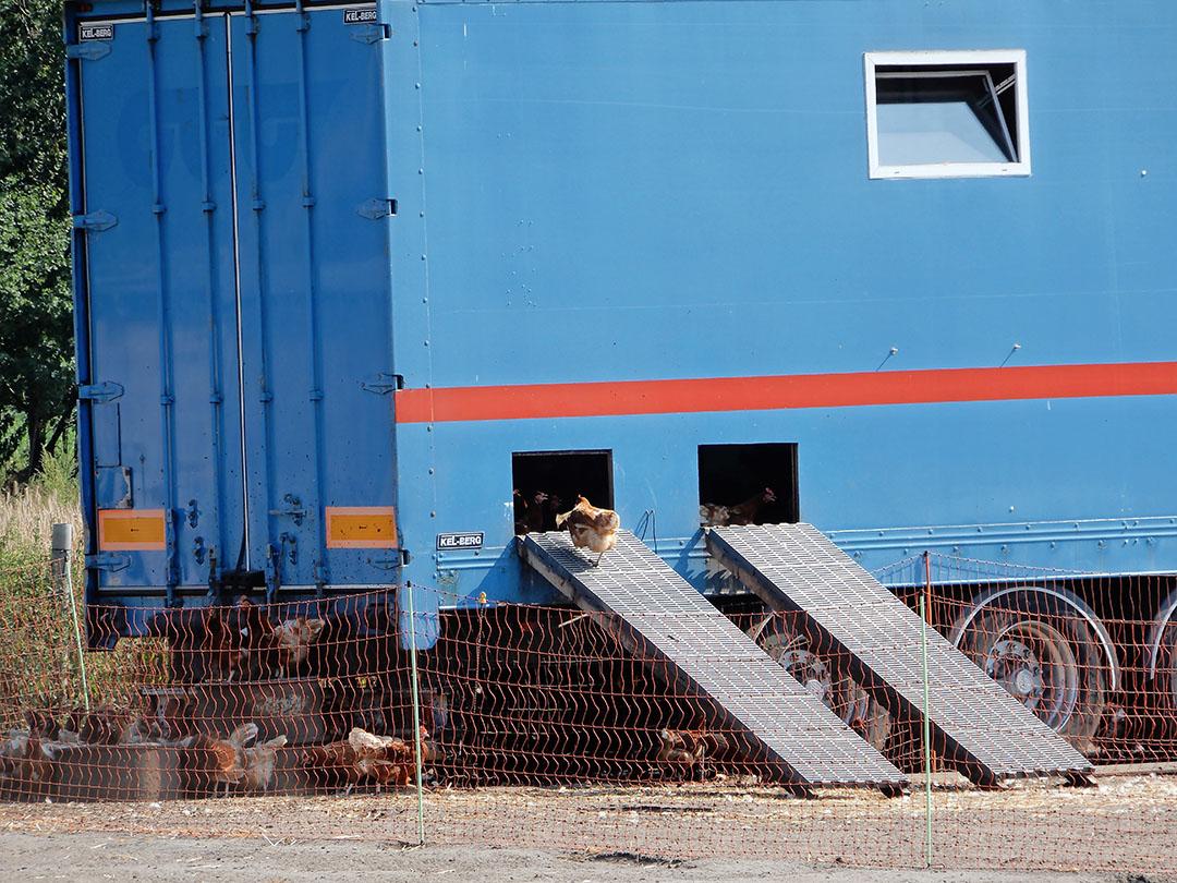 Meer en meer kippen in Duitsland worden gehouden in mobiele stallen, zoals in deze tot kippenstal omgebouwde vrachtwagenaanhanger. - Foto: Hans Bijleveld