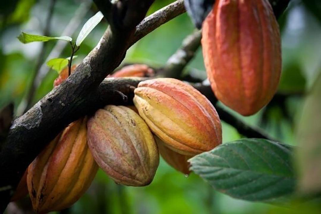 Cacaobonen. Foto: Canva