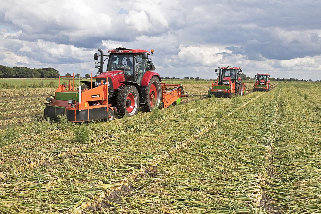 Rooien van uien. Het optimale oogstmoment is wanneer de uien nog 30% groen loof hebben. - Foto: Koos van der Spek