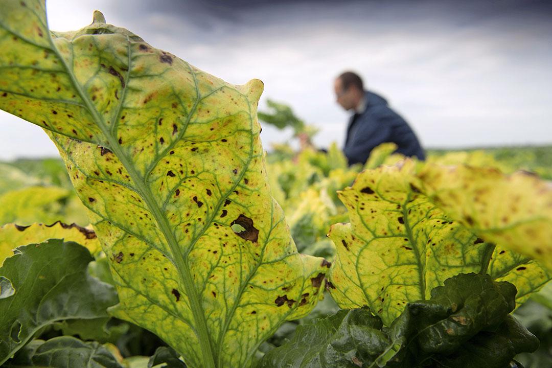 Vergelingsziekte wordt overgebracht doordat bladluizen het bietenblad aanprikken. - Foto: Mark Pasveer