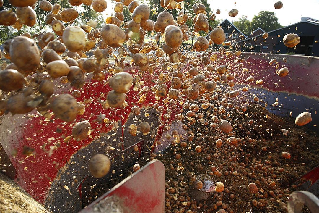Aardappelen in een mengvoerwagen. In Nederland gaat nog geen nieuwe oogst de vergister in, omdat de mogelijkheid bestaat om aardappelen aan koeien te voeren. - Foto: Hans Prinsen