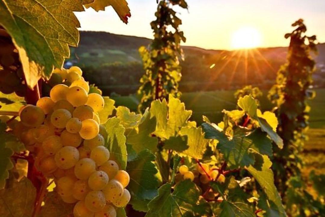 De witte wijnen domineren met 65% het Duitse areaal. Duitsland is zo de wereldwijd grootste producent van Riesling. Foto: Canva