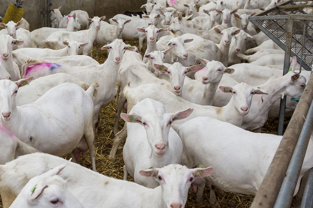 Geiten- en schapenhouders en glastuinbouwers zijn het meest positief over kringlooplandbouw. - Foto: Peter Roek