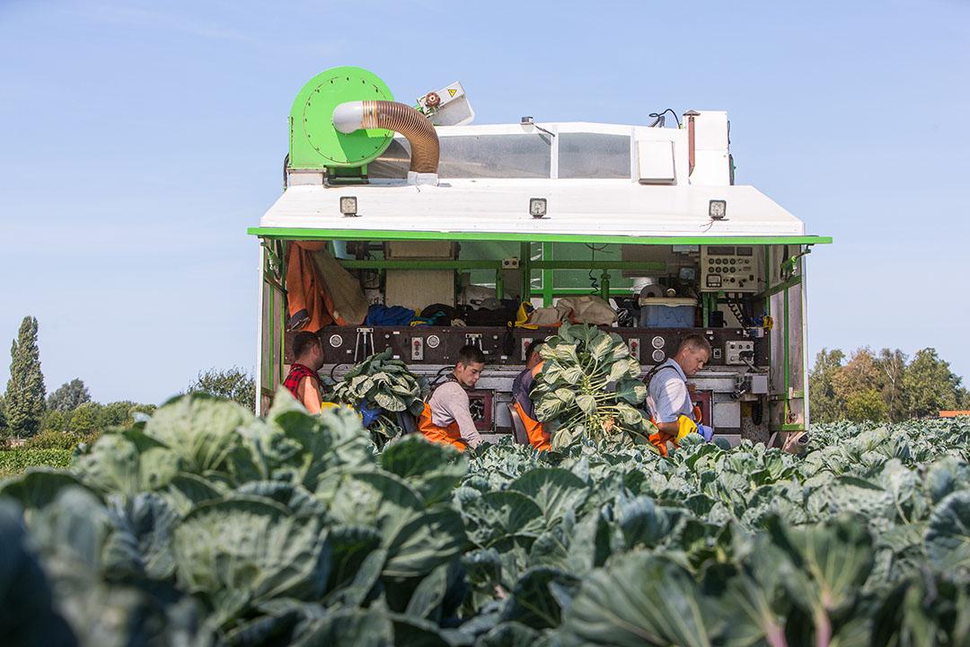 Medewerkers van Eelco van Putten oogsten spruiten in Dirksland.