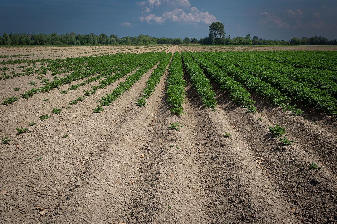 Een nieuwe vitaliteitstoets moet bijdragen aan een hogere opkomst van pootaardappelen. - Foto: Peter Roek