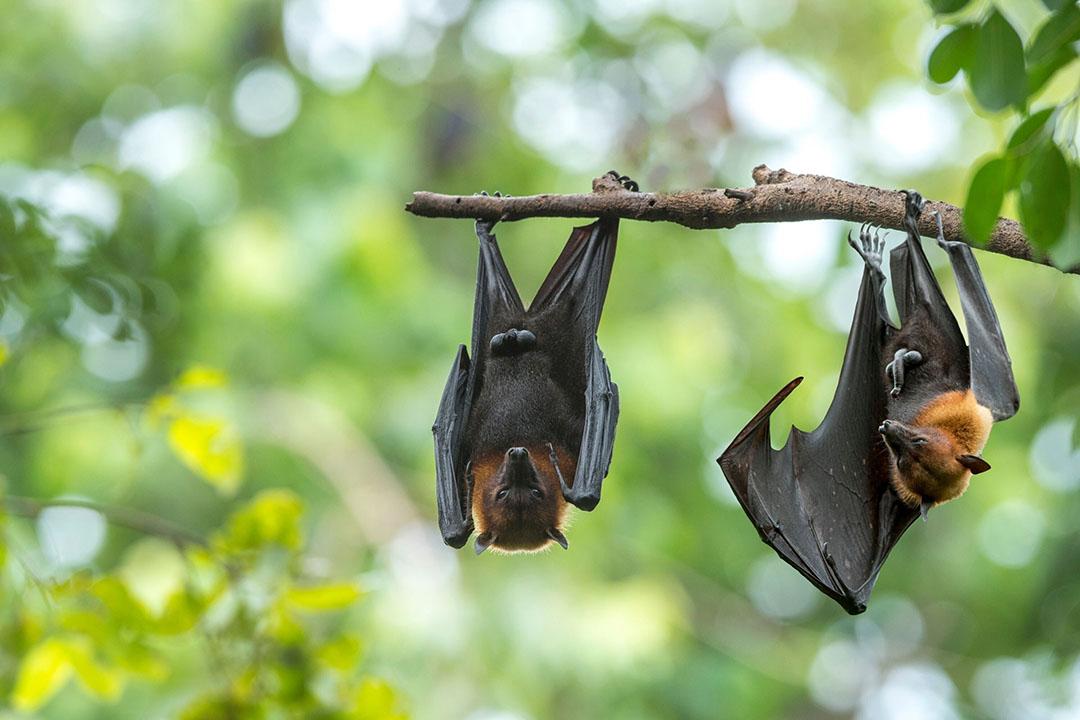 Het zijn met name vleermuizen, knaagdieren en zangvogels die ziekteverwekkers meebrengen. Foto: Canva