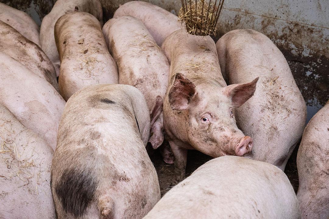 Varkenshouder John Tijmensen heeft zware varkens liggen doordat de afvoer van varkens stagneert vanwege tijdelijke sluiting van een aantal slachthuizen door Corona onder de werknemers.