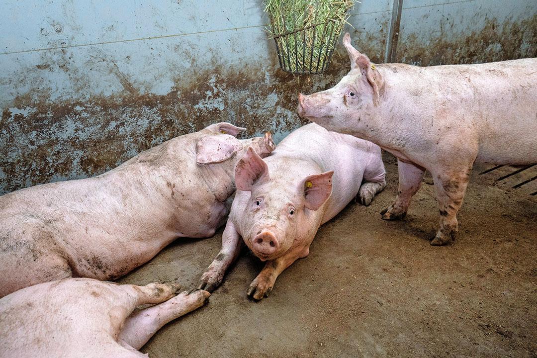 Zware varkens in stal doordat afvoer stagneert. - Foto: Herbert Wiggerman