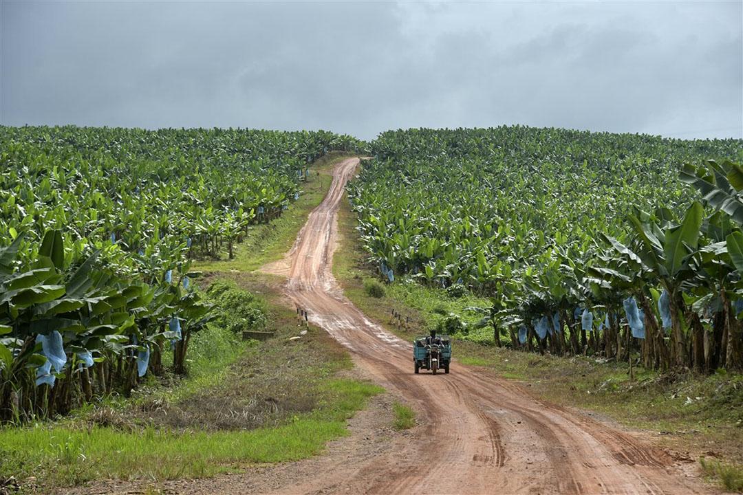 Een bananenplantage in Afrika. Het onderzoeksteam wil door middel van veredelingsprogramma's nieuwe banenrassen ontwikkelen en plaatselijke teeltsystemen en gewasbescherming verbeteren. - Foto: AFP